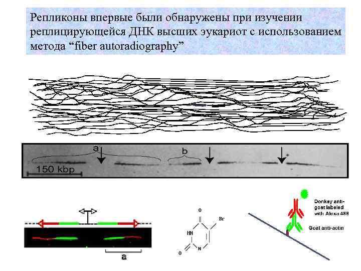 """Репликоны впервые были обнаружены при изучении реплицирующейся ДНК высших эукариот с использованием метода """"fiber"""