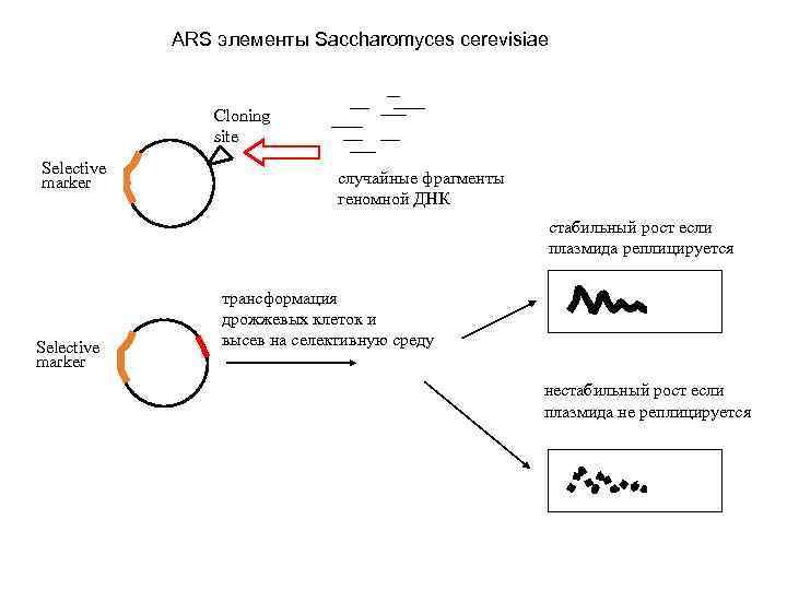 ARS элементы Saccharomyces cerevisiae Cloning site Selective marker cлучайные фрагменты геномной ДНК стабильный рост