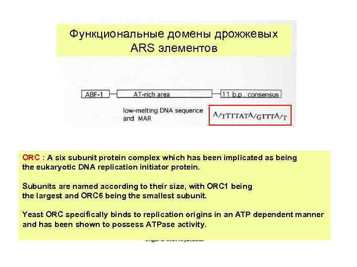 Функциональные домены дрожжевых ARS элементов ORC : A six subunit protein complex which has