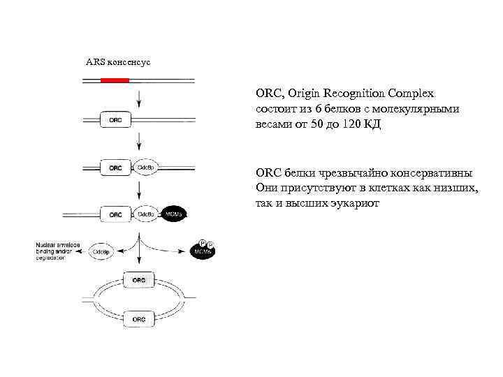ARS консенсус ORC, Origin Recognition Complex состоит из 6 белков с молекулярными весами от