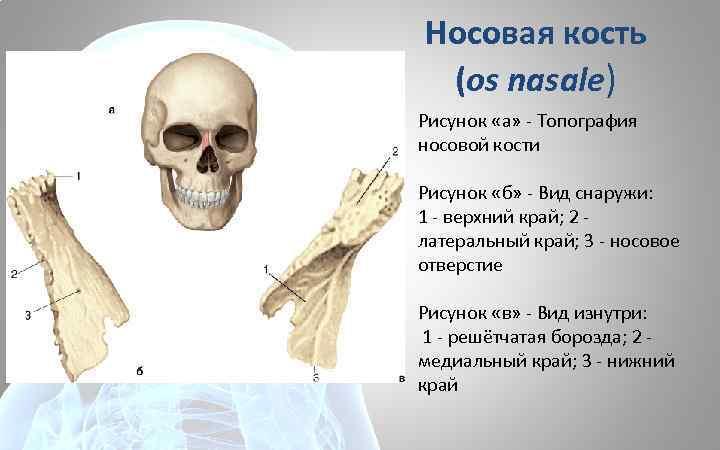 Носовая кость (os nasale) Рисунок «а» - Топография носовой кости Рисунок «б» - Вид