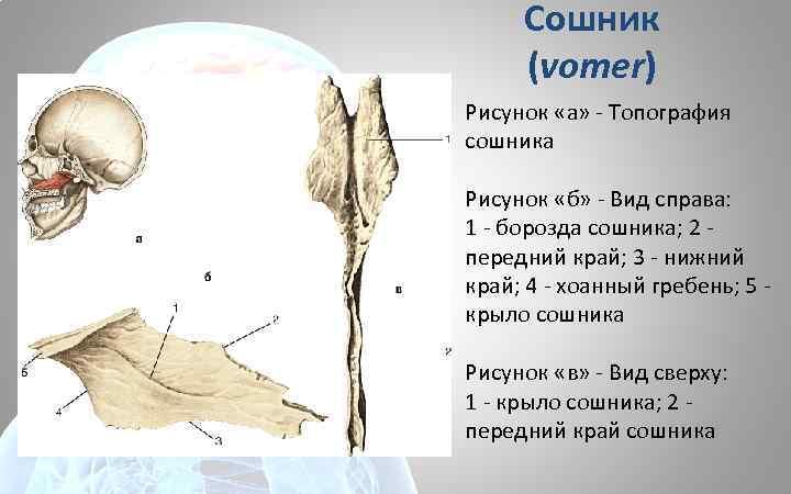 Сошник (vomer) Рисунок «а» - Топография сошника Рисунок «б» - Вид справа: 1 -