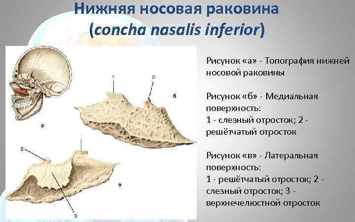Нижняя носовая раковина (concha nasalis inferior) Рисунок «а» - Топография нижней носовой раковины Рисунок