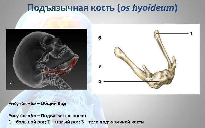Подъязычная кость (os hyoideum) б а Рисунок «а» – Общий вид Рисунок «б» –