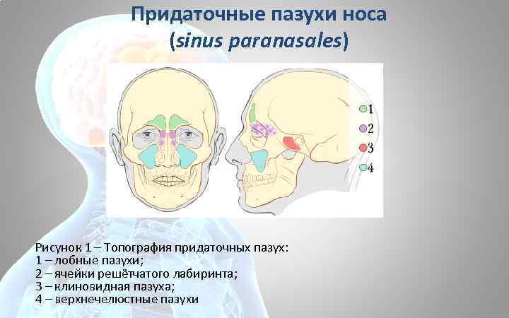 Придаточные пазухи носа (sinus paranasales) Рисунок 1 – Топография придаточных пазух: 1 – лобные