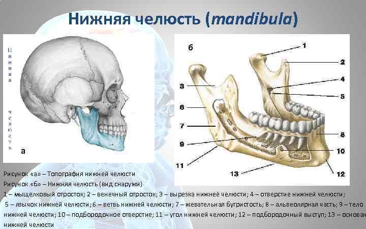 Нижняя челюсть (mandibula) б а Рисунок «а» – Топография нижней челюсти Рисунок «б» –