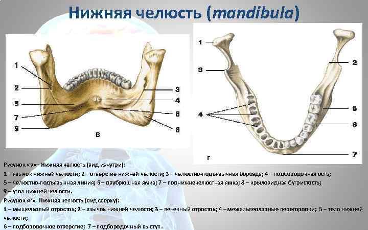 Нижняя челюсть (mandibula) в г Рисунок «в» – Нижняя челюсть (вид изнутри): 1 –