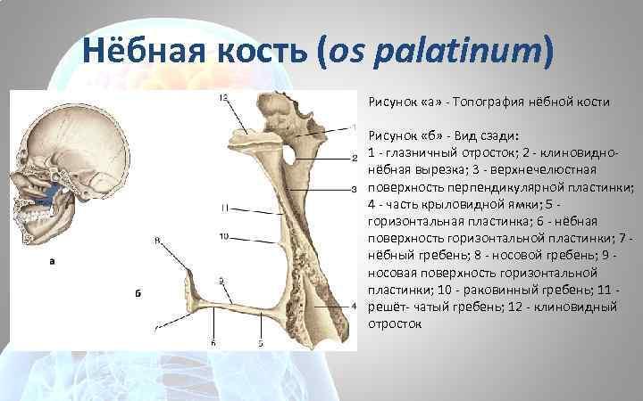 Нёбная кость (os palatinum) Рисунок «а» - Топография нёбной кости Рисунок «б» - Вид