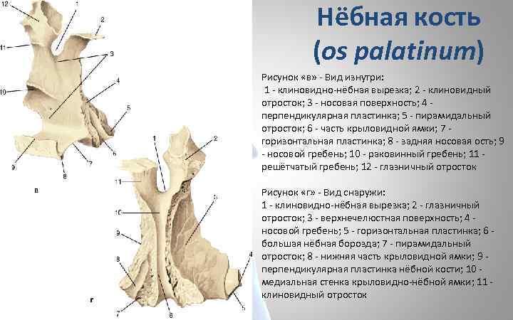 Нёбная кость (os palatinum) Рисунок «в» - Вид изнутри: 1 - клиновидно-нёбная вырезка; 2