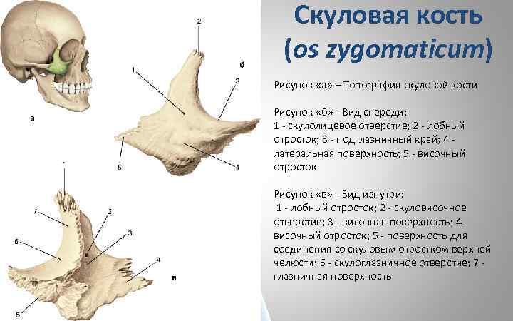 Скуловая кость (os zygomaticum) Рисунок «а» – Топография скуловой кости Рисунок «б» - Вид