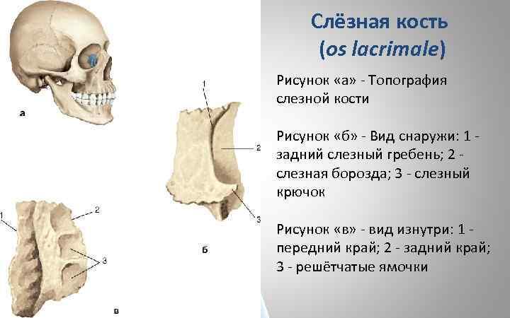 Слёзная кость (os lacrimale) Рисунок «а» - Топография слезной кости Рисунок «б» - Вид