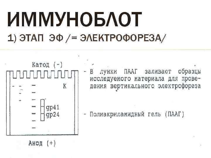 ИММУНОБЛОТ 1) ЭТАП ЭФ /= ЭЛЕКТРОФОРЕЗА/
