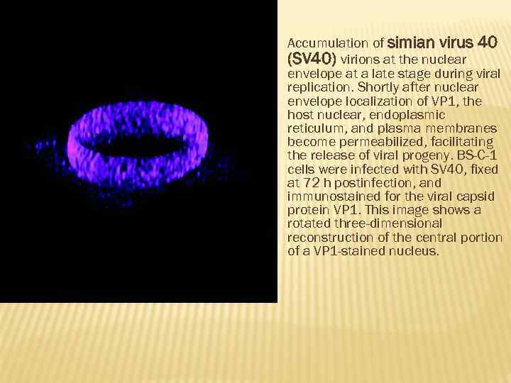 Accumulation of simian virus 40 (SV 40) virions at the nuclear envelope at