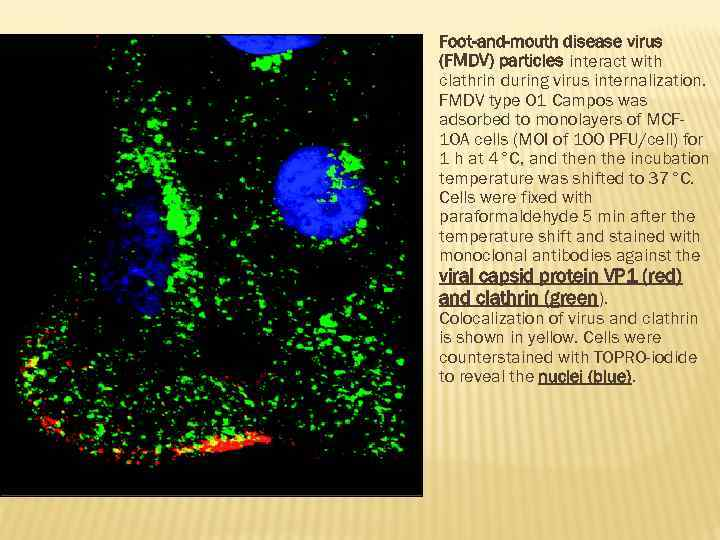 Foot-and-mouth disease virus (FMDV) particles interact with clathrin during virus internalization. FMDV type