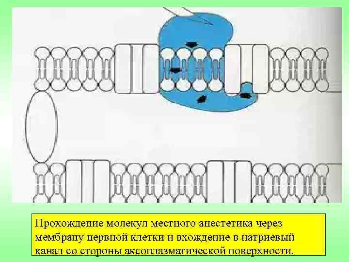 Прохождение молекул местного анестетика через мембрану нервной клетки и вхождение в натриевый канал со