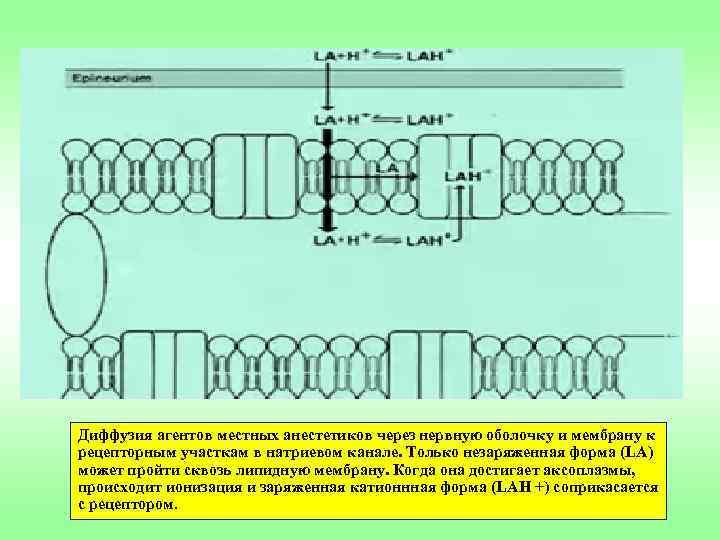 Диффузия агентов местных анестетиков через нервную оболочку и мембрану к рецепторным участкам в натриевом