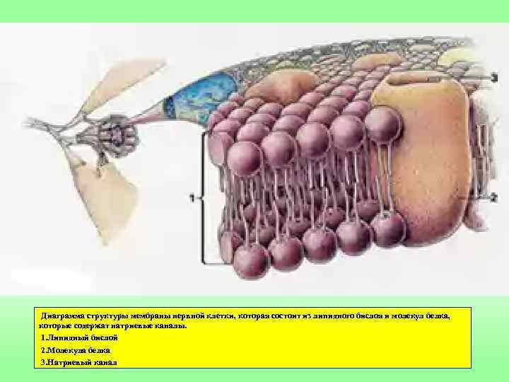 Диаграмма структуры мембраны нервной клетки, которая состоит из липидного бислоя и молекул белка, которые