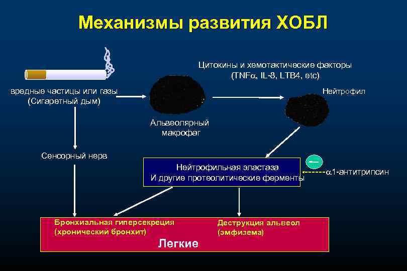 Механизмы развития ХОБЛ Цитокины и хемотактические факторы (TNF , IL-8, LTB 4, etc) вредные