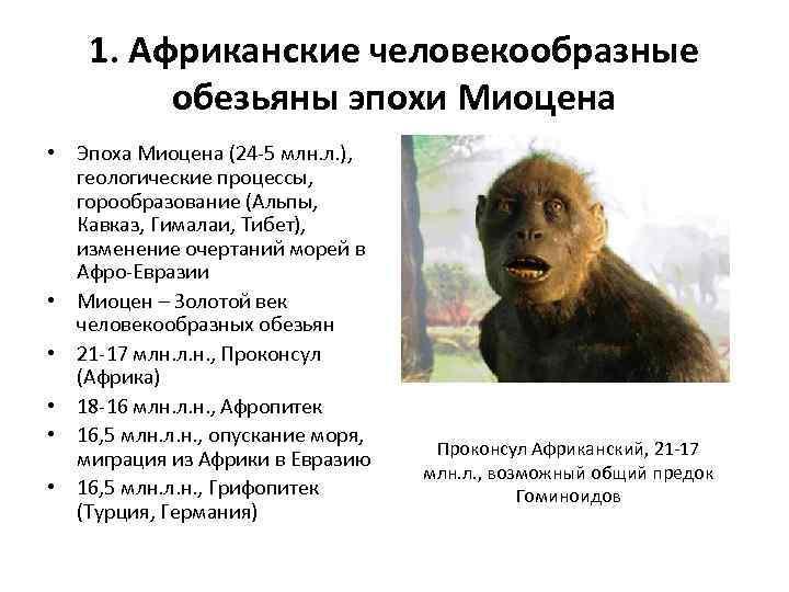 общий предок человекообразных обезьян и человека является
