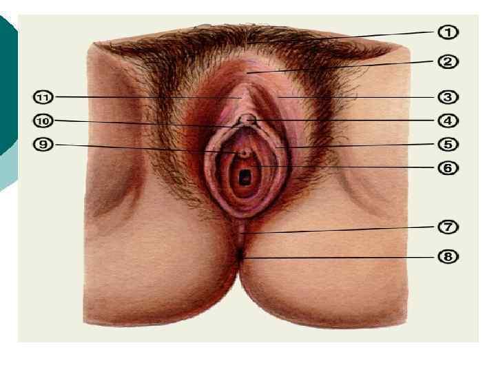 Сексуальные органы женщин