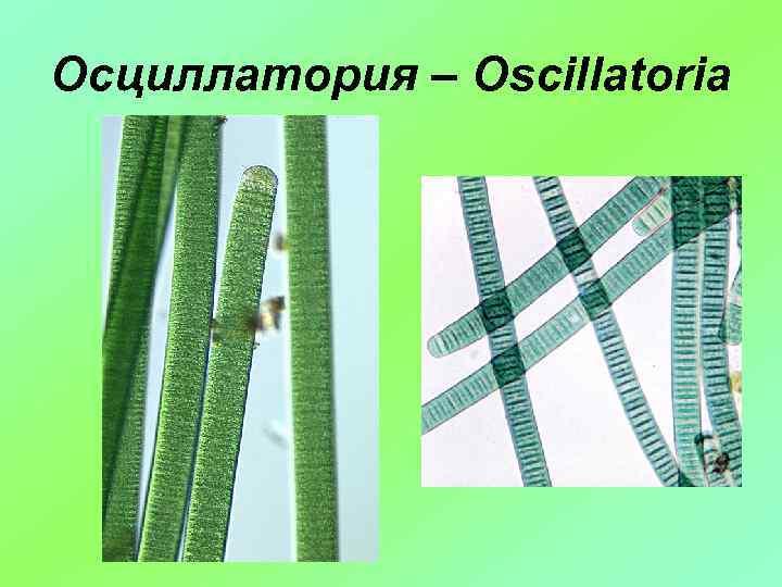 Осциллатория – Oscillatoria