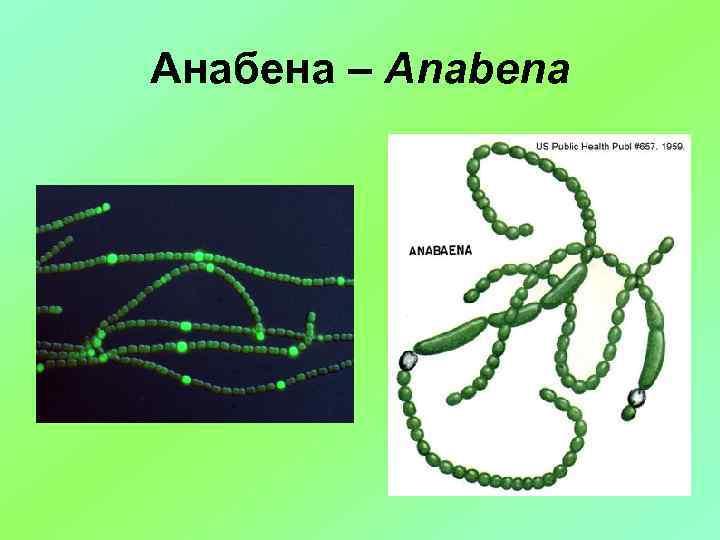 Анабена – Anabena