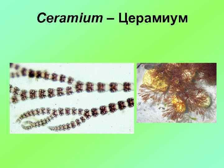 Ceramium – Церамиум