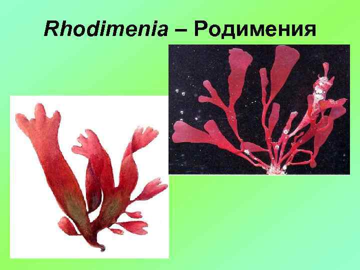 Rhodimenia – Родимения