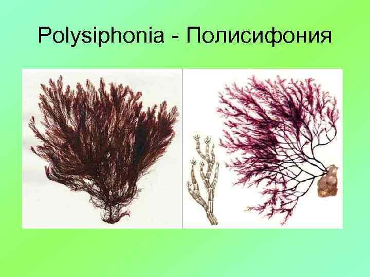 Polysiphonia - Полисифония