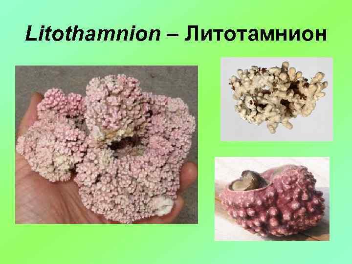 Litothamnion – Литотамнион
