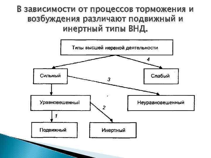 В зависимости от процессов торможения и возбуждения различают подвижный и инертный типы ВНД.