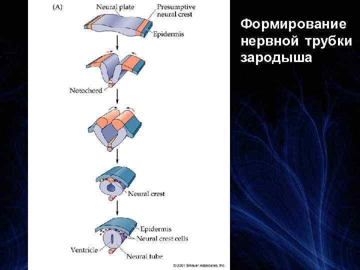 Формирование нервной трубки зародыша