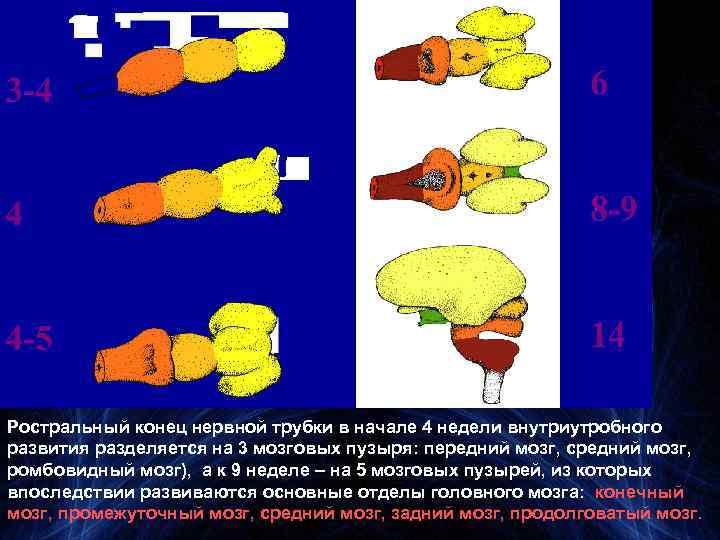 Ростральный конец нервной трубки в начале 4 недели внутриутробного развития разделяется на 3 мозговых