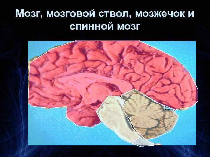 Мозг, мозговой ствол, мозжечок и спинной мозг