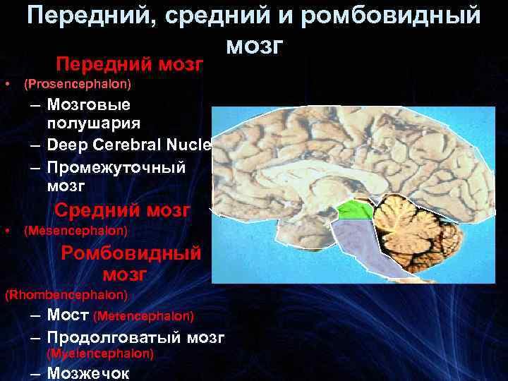 Передний, средний и ромбовидный мозг Передний мозг • (Prosencephalon) – Мозговые полушария – Deep