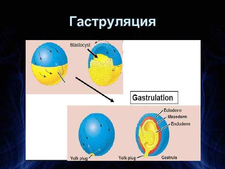 Гаструляция