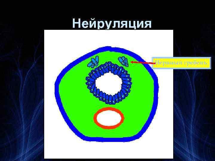 Нейруляция Нервный гребень