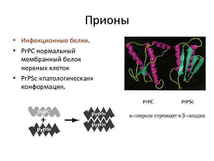 Прионы • Инфекционные белки. • Pr. PC нормальный мембранный белок нервных клеток • Pr.