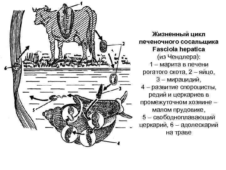 жизненный цикл печеночного сосальщика схема 7 класс