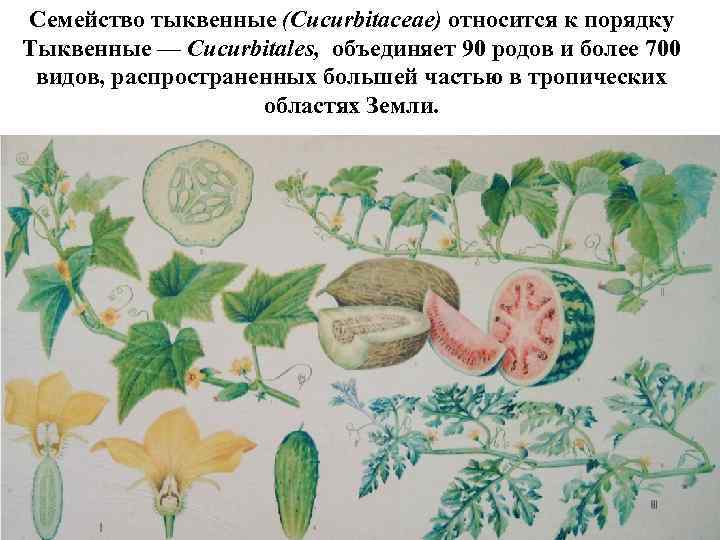 растения семейства тыквенных список