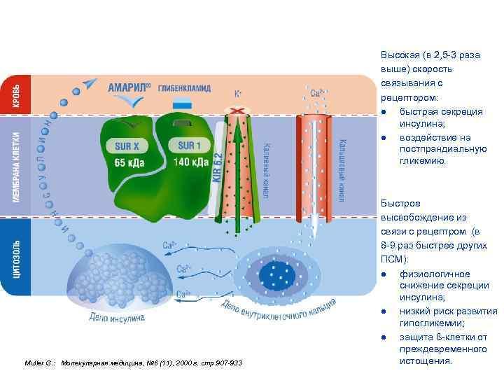 Особенности взаимодействия Амарила с рецепторами ß-клеток поджелудочной железы определяют его уникальные свойства Высокая (в