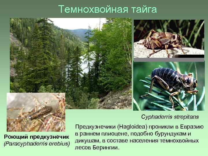 Темнохвойная тайга Cyphaderris strepitans Предкузнечики (Hagloidea) проникли в Евразию в раннем плиоцене, подобно бурундукам