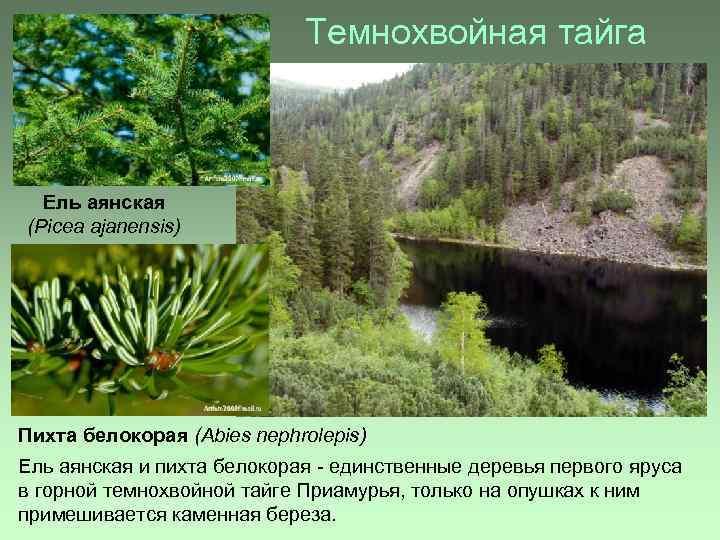 Темнохвойная тайга Ель аянская (Picea ajanensis) Пихта белокорая (Abies nephrolepis) Ель аянская и пихта