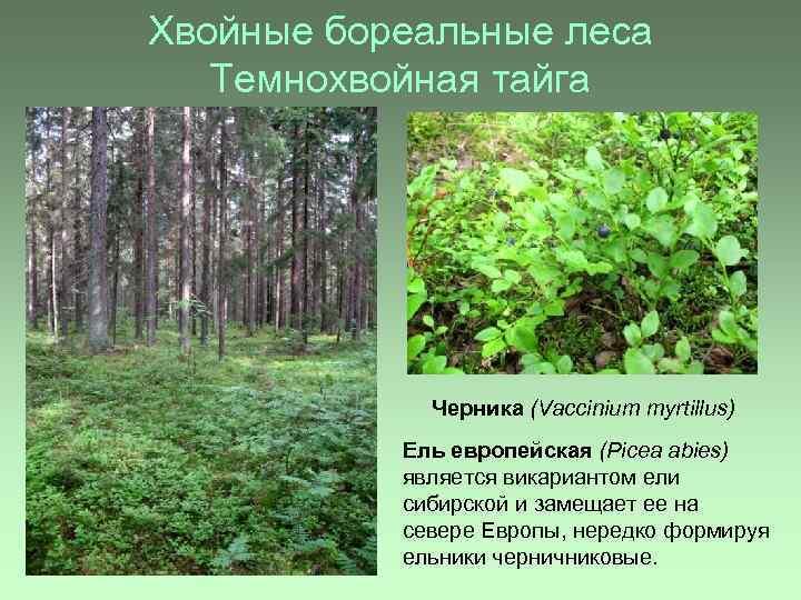 Хвойные бореальные леса Темнохвойная тайга Черника (Vaccinium myrtillus) Ель европейская (Picea abies) является викариантом