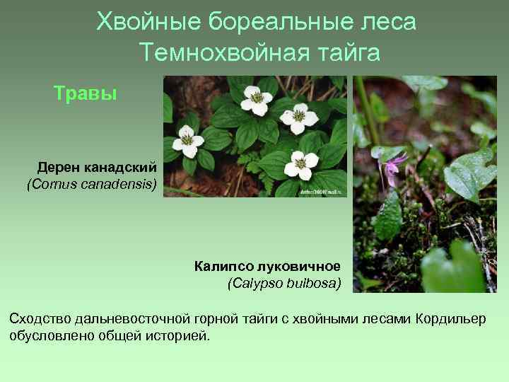Хвойные бореальные леса Темнохвойная тайга Травы Дерен канадский (Сornus canadensis) Калипсо луковичное (Calypso bulbosa)
