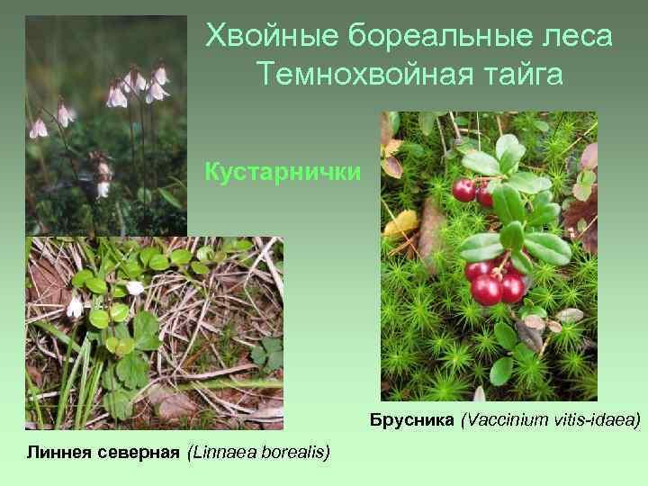 Хвойные бореальные леса Темнохвойная тайга Кустарнички Брусника (Vaccinium vitis-idaea) Линнея северная (Linnaea borealis)
