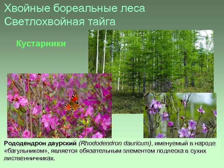Хвойные бореальные леса Светлохвойная тайга Кустарники Рододендрон даурский (Rhododendron dauricum), именуемый в народе «багульником»