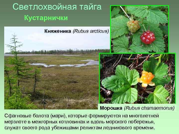 Светлохвойная тайга Кустарнички Княженика (Rubus arcticus) Морошка (Rubus chamaemorus) Сфагновые болота (мари), которые формируются