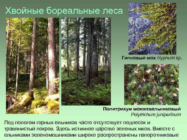 Хвойные бореальные леса Гипновый мох Hypnum sp. Политрихум можжевельниковый Polytrichum juniperinum Под пологом горных