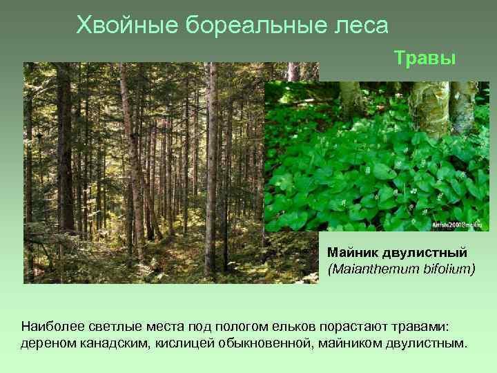 Хвойные бореальные леса Травы Майник двулистный (Maianthemum bifolium) Наиболее светлые места под пологом ельков